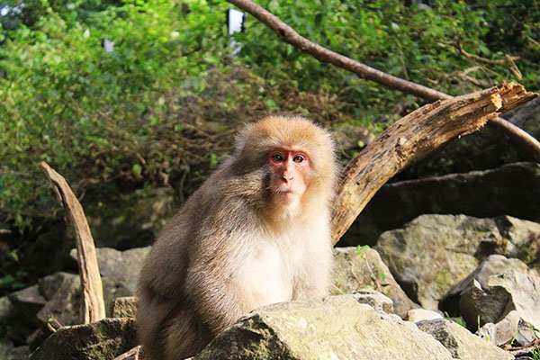 How to visit the Snow Monkeys in Japan