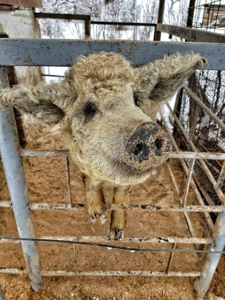 Sheep Pig hybrid in Slovakia