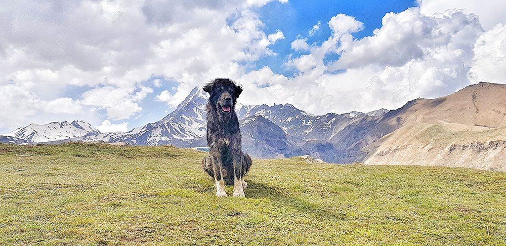 Wild Kazbegi dog