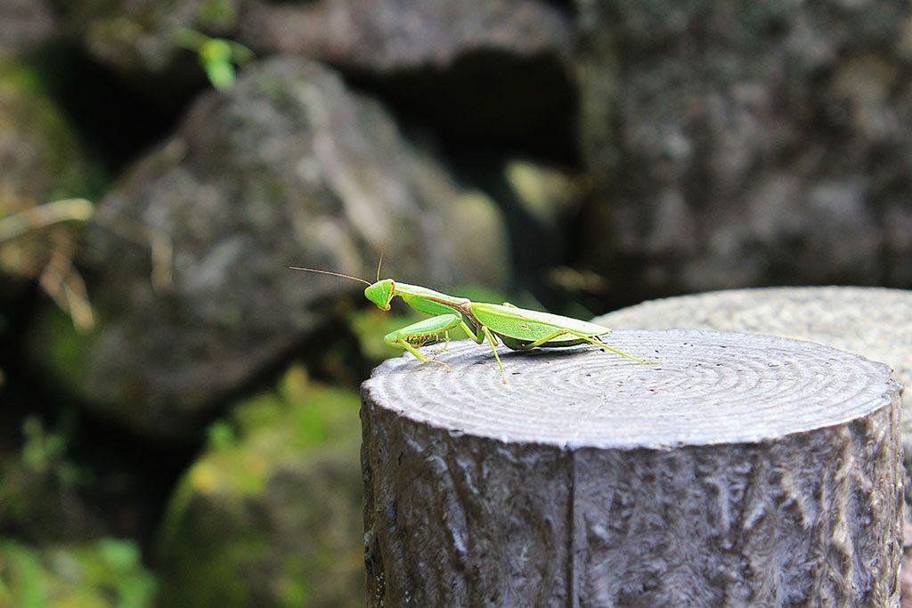 Japanese praying Mantis Takachiho Gorge