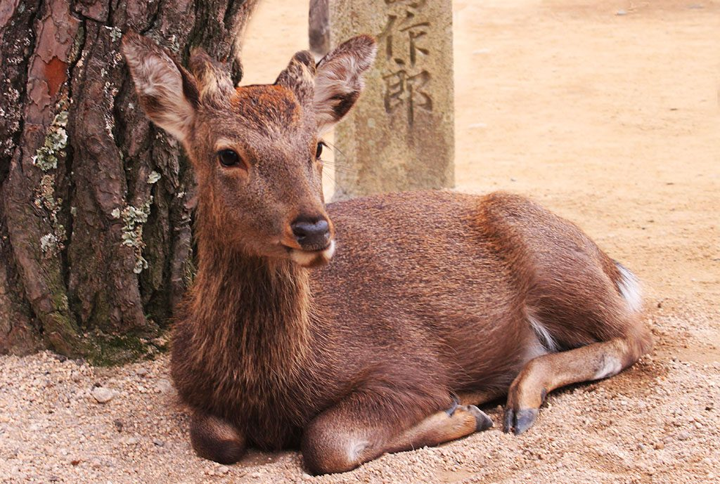 Japanese Deer on Nara Park