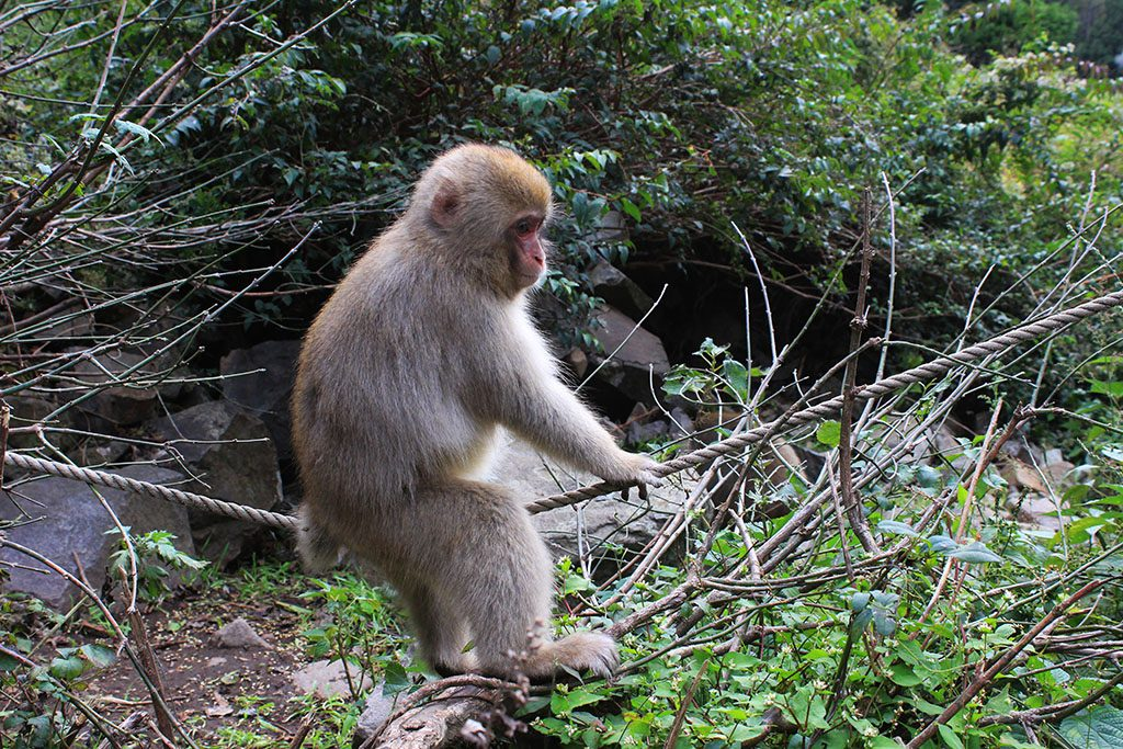 Japanese snow monkey playing