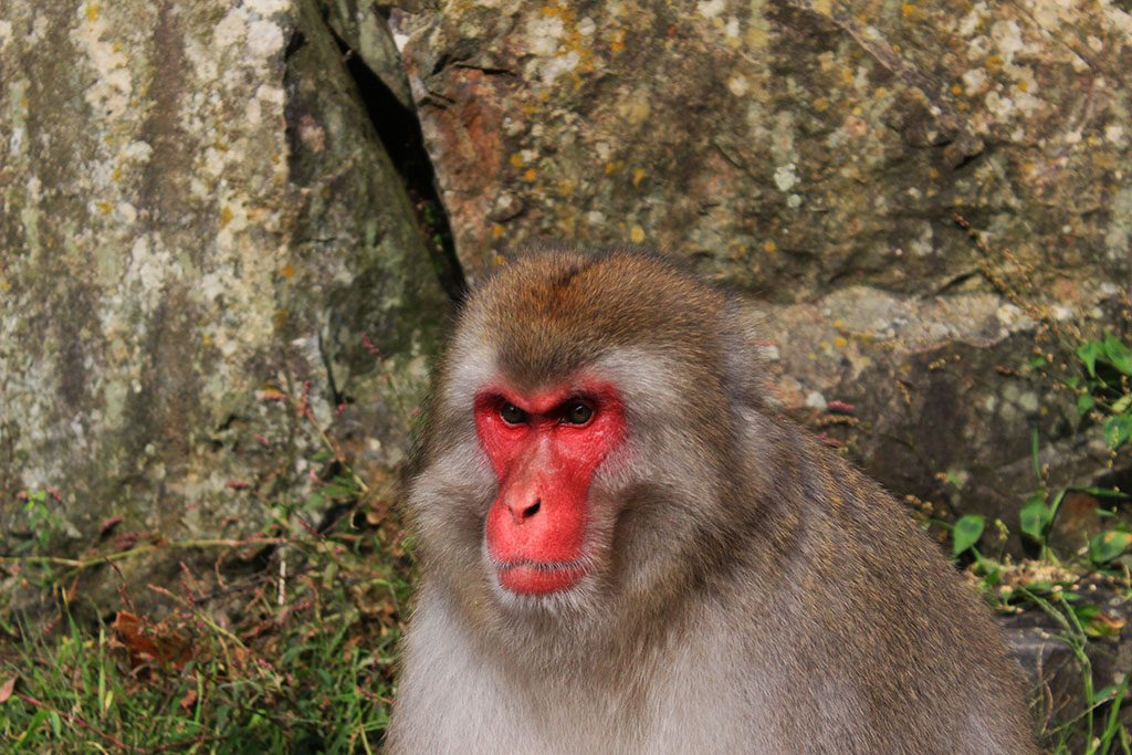 Red face Snow Monkey in Japan