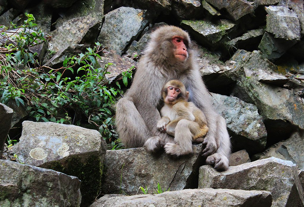 Mother and baby Japanese Snow monkeys