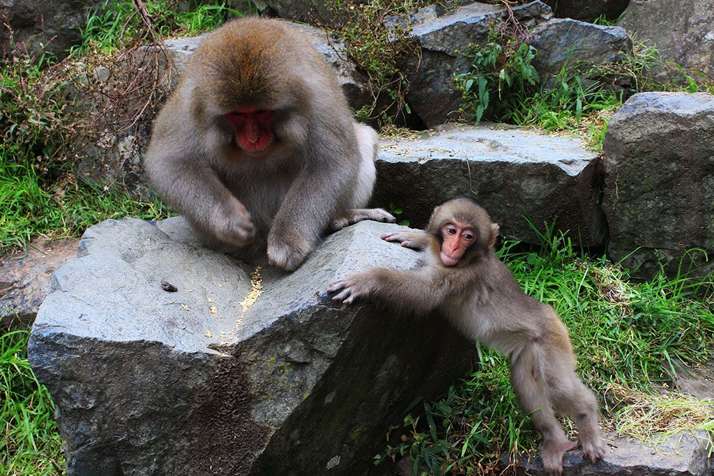 Baby Japanese Snow Monkey with its mother