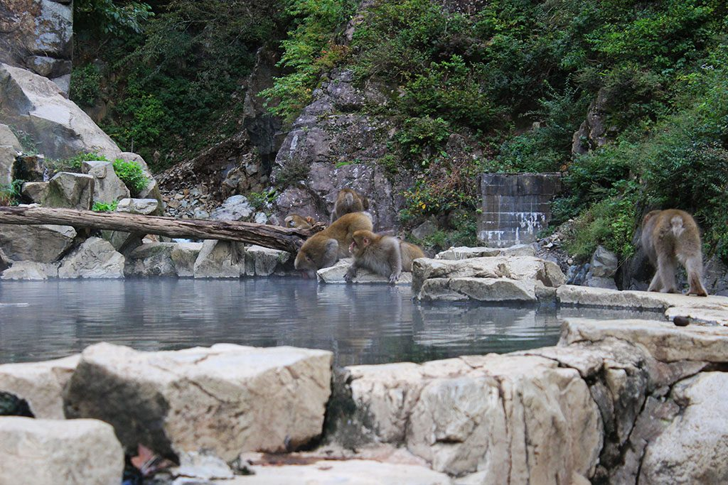 Snow Monkeys bathing in onsens