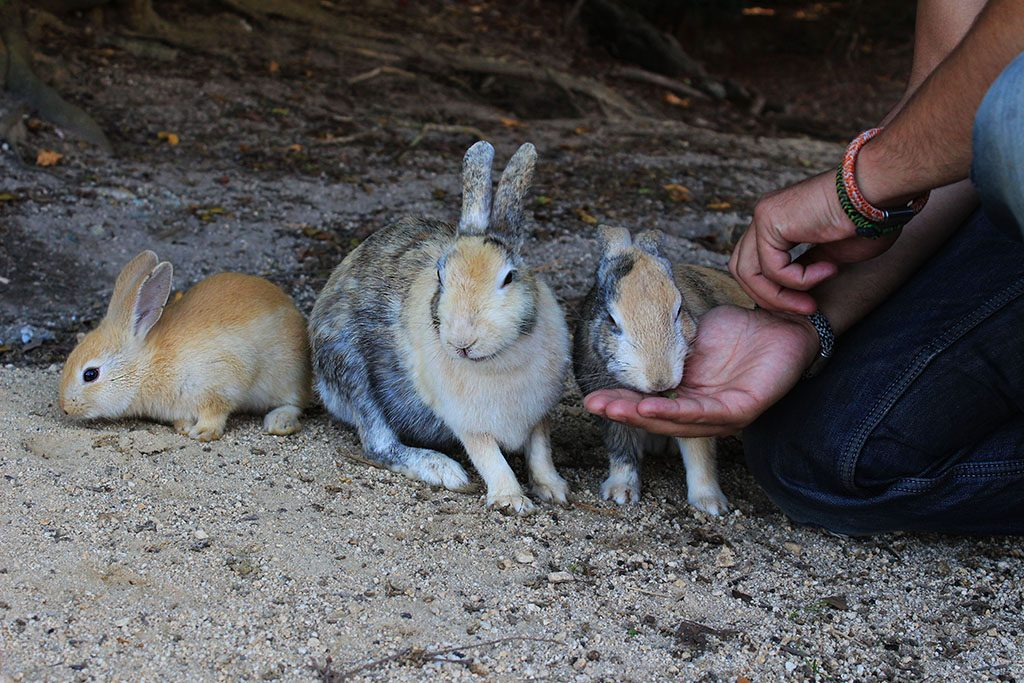Feeding rabbits on Rabbit Island in Japan