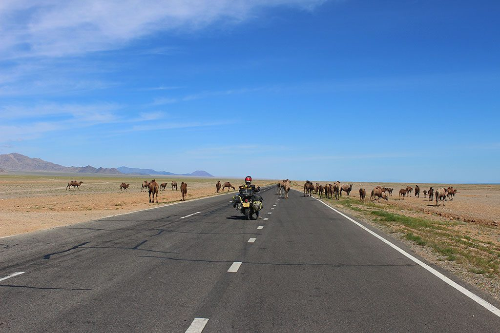 Adventure Motorcycle Travel in Mongolia with camels