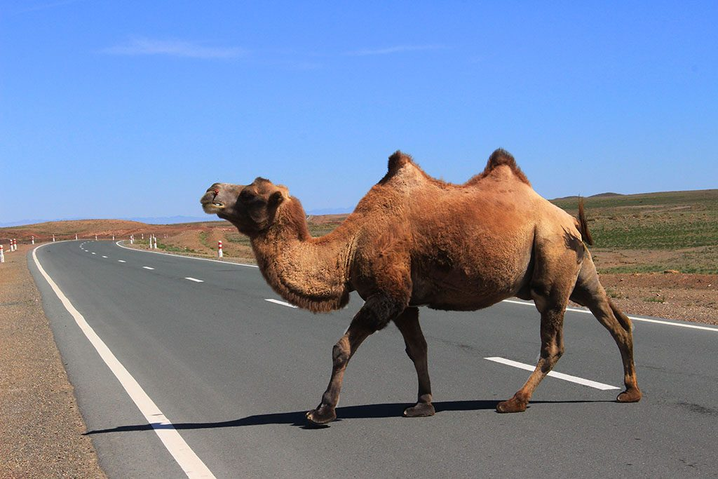 Just a camel crossing the road