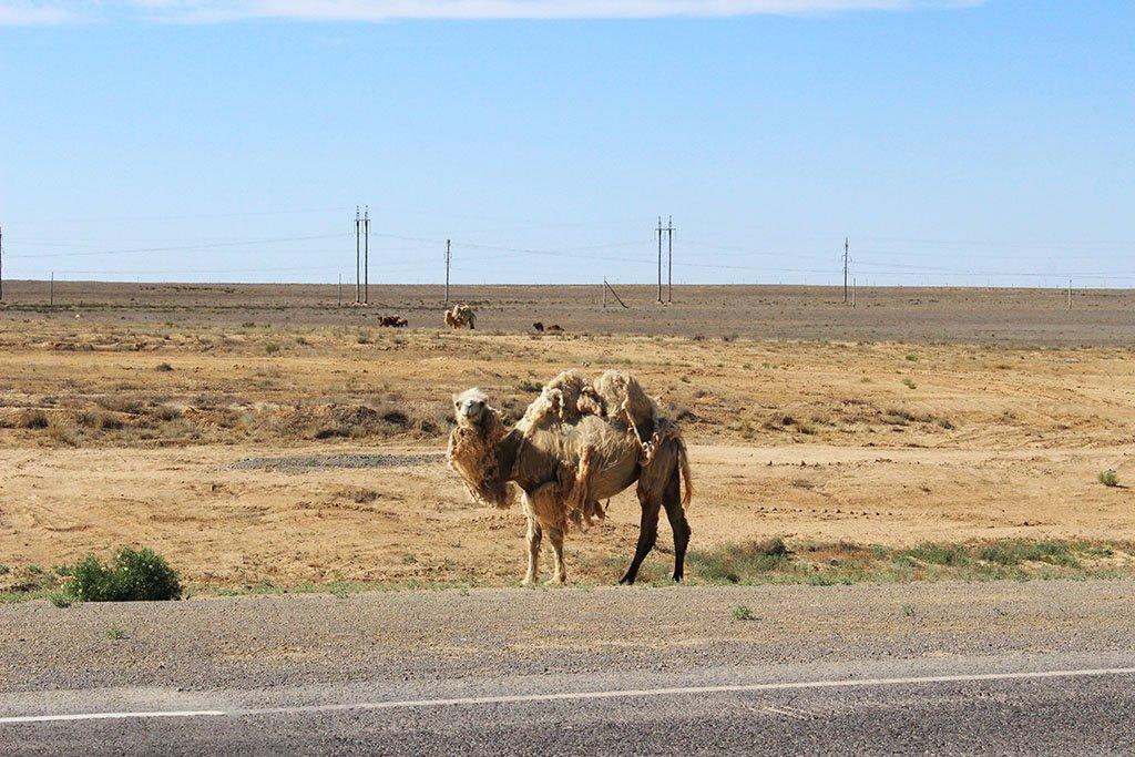 Uzbekistan camel